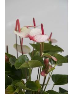 Anthurium bicolor