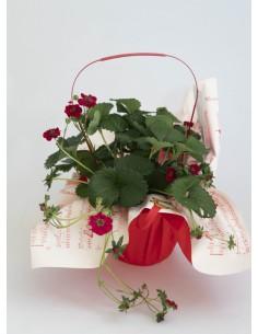 Planta maduixera