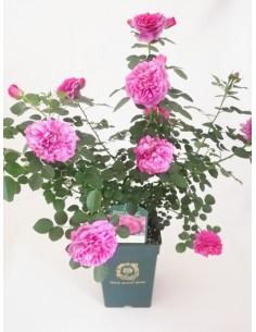 Roser planta - David Austin