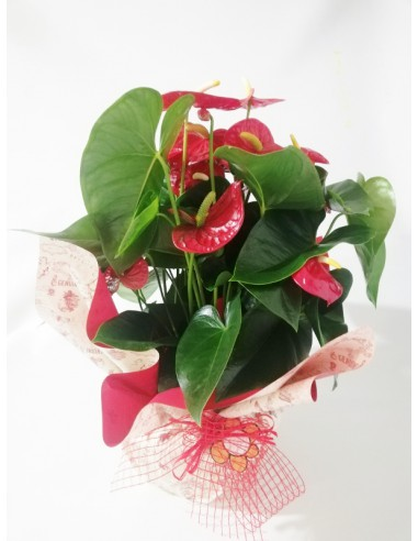 Anthurium en terrina