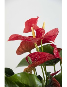 Anthurium super extra