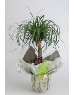 Beucarbea (Pota d'elefant)