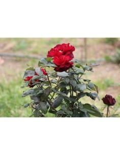 Roser planta extra